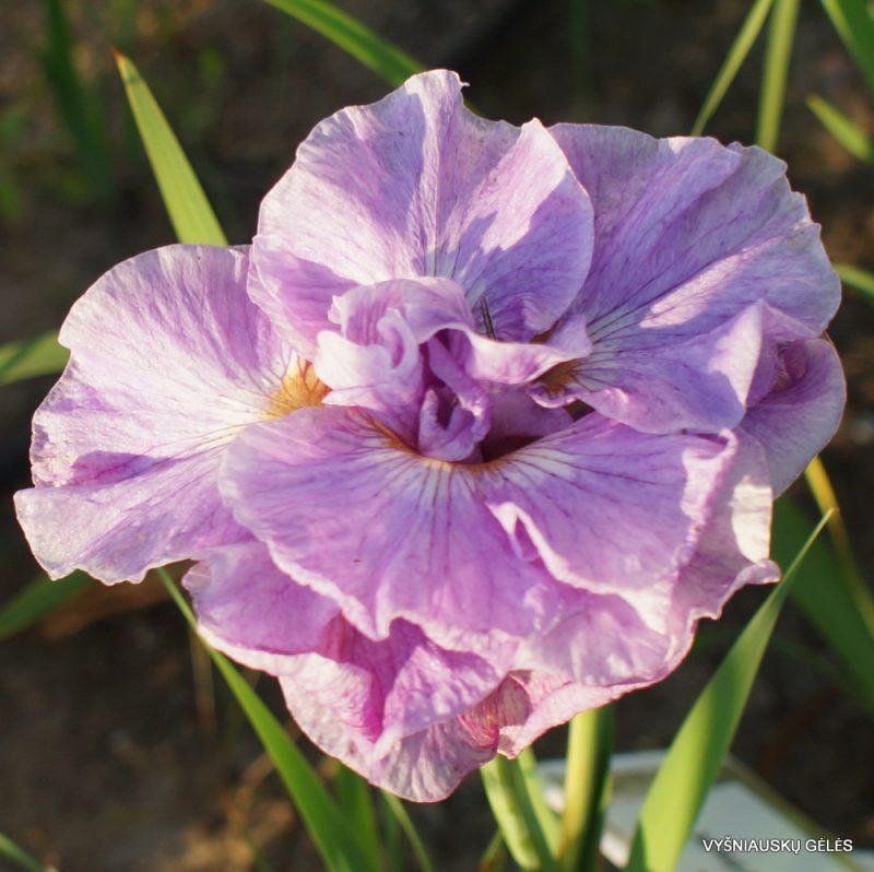 Iris 'Pink Parfait' (3)