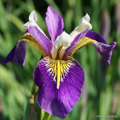 Iris 'Regal Surprise'