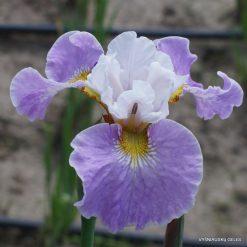 Iris 'Sahnehäubchen'
