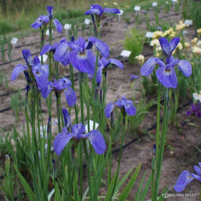 Iris 'Stilles Wasser' (3)