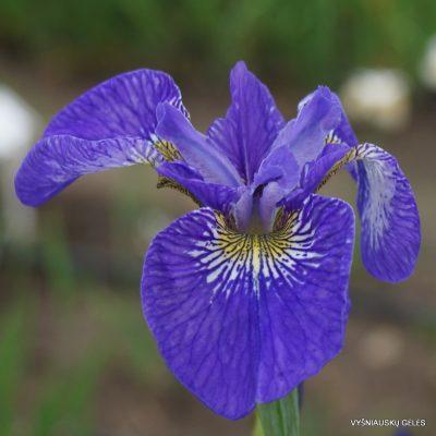 Iris 'Stilles Wasser'