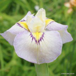 Iris 'Violet Swallows'