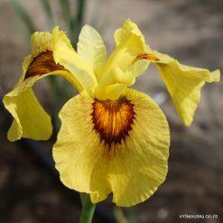 Iris x pseudata 'Its a Bigun'