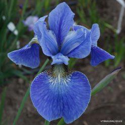 Iris 'Space Filled'