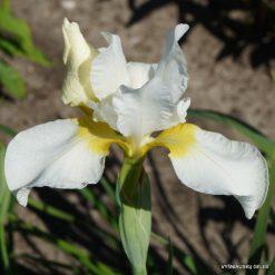 Iris 'Viel Schnee'