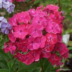Phlox 'Ladd's Pink'