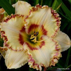 Daylily 'Apatura Happy Summer' (4)