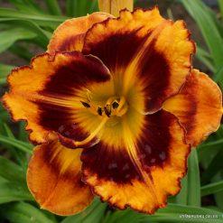 Daylily 'Apatura Ringtail'