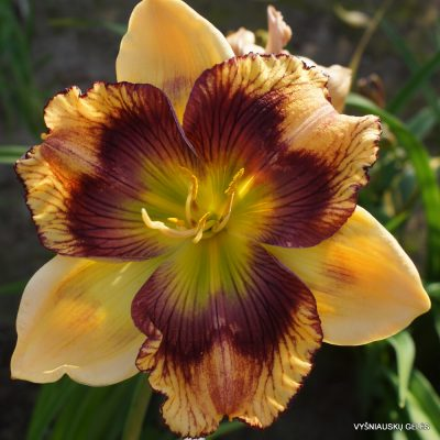 Daylily 'Believing in Design' (2)