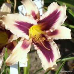 Daylily 'Boitzer Papillon'