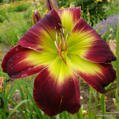 Daylily Curtis S.Noel
