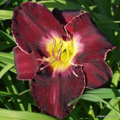 Daylily Evening Concerto