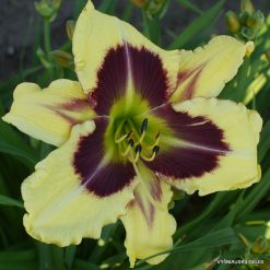 Daylily Heavenly Explosion