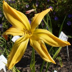 Daylily Memphis Morning Star