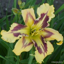 Daylily Points of Pride
