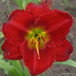 Daylily Red Hot Lover
