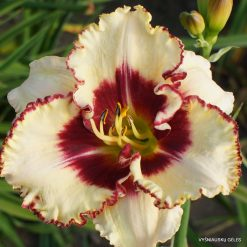Daylily Remembered Kisses