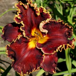 Daylily Spacecoast Hollywood Knights