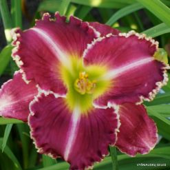 Daylily Substance of Fire