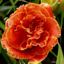 Daylily Sultan