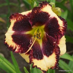 Daylily The Dark Side