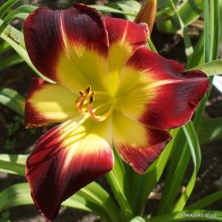 Daylily With or Without You