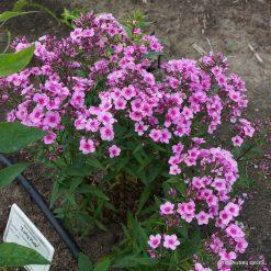 Phlox 'Early Pink'