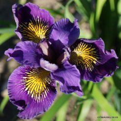 Iris 'Berlin Butterfly'