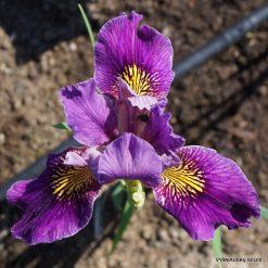 Iris 'Fourfold Wine'